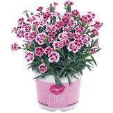 Vaso Dianthus Pink Kisses 1 Unidade