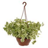 Planta Peperômia